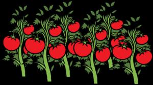 Pomidory-Rysunek